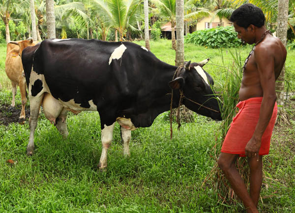 cattle-farm-vaikom-kerala